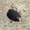 Red Shouldered Bug