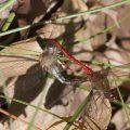Mating Ruby Meadowhawks