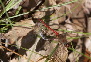 Mating Ruby Meadowhawks