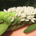Hornworm Parasitized by Braconids