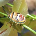 Immature Stink Bug