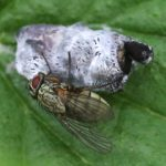 Tachinid Fly Emerges from Puparium