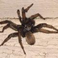 tarantula_shannon