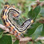 Yellow Necked Caterpillar
