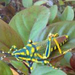 Ak Grasshopper