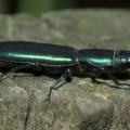 Bark Gnawing Beetle