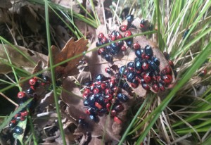 Ebony Bug Aggregation