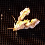 Erythrina Borer