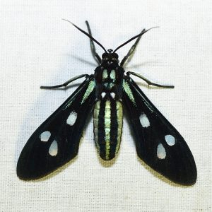 Wasp Mimic Moth