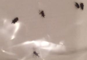Grain Weevils