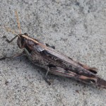 Gray Bird Grasshopper