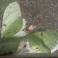 Mating Luna Moths