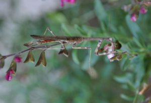 Male California Mantis eating what might be a Tobacco Budworm