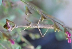 Male Carolina Mantis eats Caterpillar