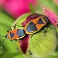 Mating Seed Bugs