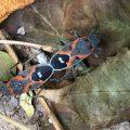 Mating Small Milkweed Bugs