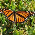 Female Monarch