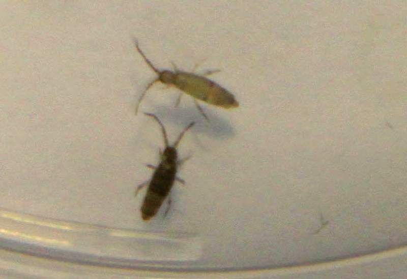 Springtails In Australia What S That Bug