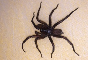 Funnel Web Spider