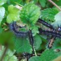 Probably Indian Red Admiral Caterpillars