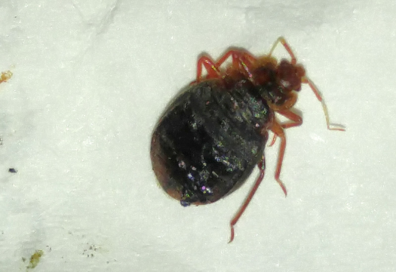 Can Bed Bugs Crawl On Tile Floors