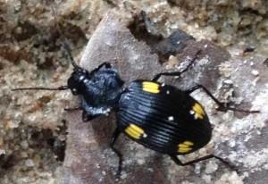 Unknown Ground Beetle