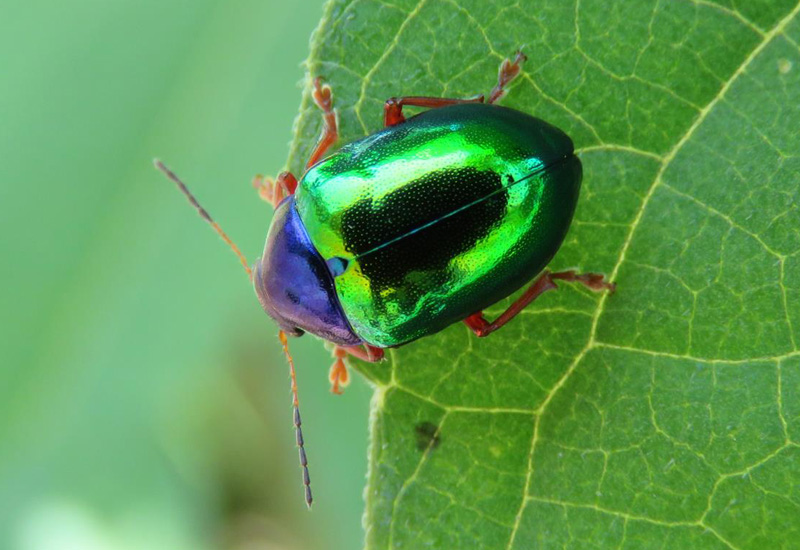 Leaf Beetle Leaf Beetle from Brazi...