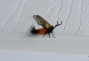 Euonymus Leaf Notcher Moth