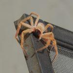 Golden Huntsman Spider