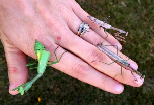 Carolina Mantids, male in the middle.