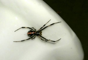 Immature Northern Black Widow