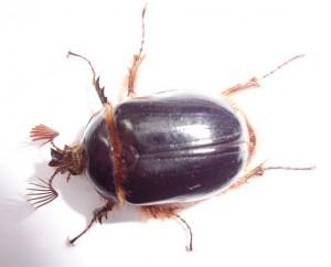 Rain Beetles