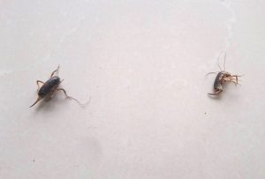 Small Camel Crickets