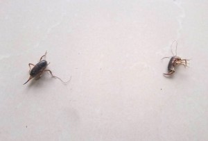 Small Camel Crickets