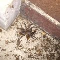 Wolf Spider eats Cockroach