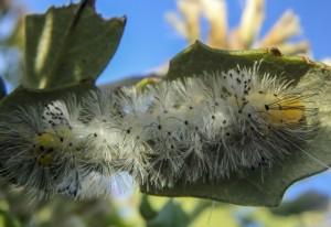 Unknown Moth Caterpillar