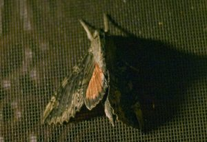 Possibly Cramer's Sphinx
