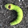 Sphinx Caterpillar