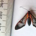 Red Spot Wasp Mimic Moth