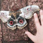 Giant Silk Moth
