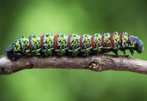 Pine Emperor Moth Caterpillar