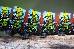 Close-up of the prolegs of the Pine Emperor Moth Caterpillar