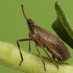 Partridge Bug