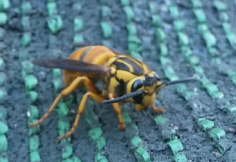 Hibernating Southern Yellowjacket Queen - What's That Bug?