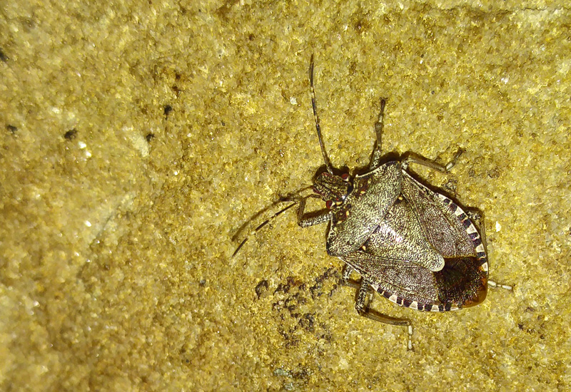 brown marmorated stink bug what 39 s that bug. Black Bedroom Furniture Sets. Home Design Ideas