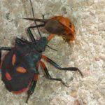 Florida Predatory Stink Bug eats Lady Beetle
