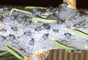 Giant Conifer Aphids