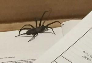 Crevice Weaver Spider