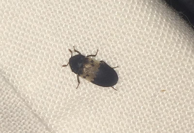 Pantry beetle larvae