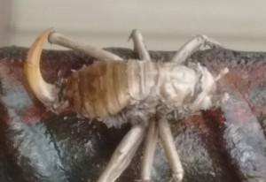 Corpse of a Carolina Leaf Roller